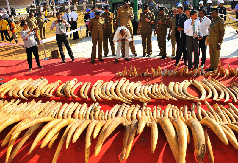Some of the ivory on display. Picture by Rukmal Gamage
