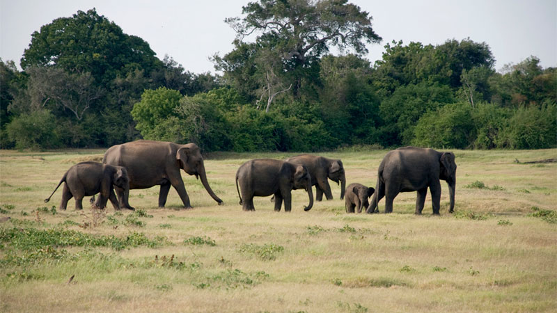 elephant population in asia Learn more elephant facts from the elephant sanctuary in there has been an estimated 90 percent decline in the asian elephant population and a 75 percent.