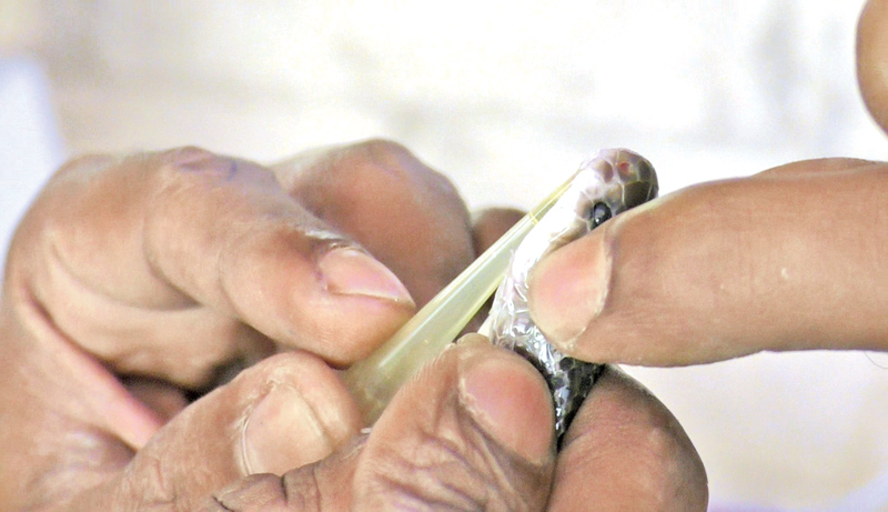 Extracting venom from a snake
