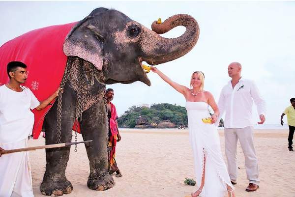 Sri Lanka is gaining popularity as a major wedding market and The EdenResort & Spa too has hosted many weddings. Here a German couple who selected the hotel to host their wedding seen feeding fruits to an elephant at the Beruwela beach.
