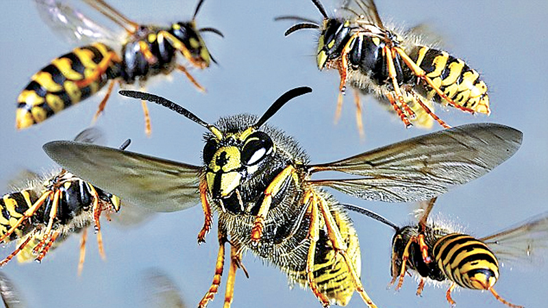 Wasps sting students, 10 hospitalised
