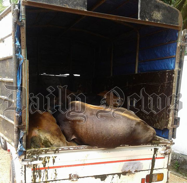 Man nabbed while transporting cattle illegally