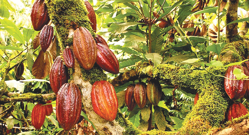 Rubber and Cocoa plantations for Ampara