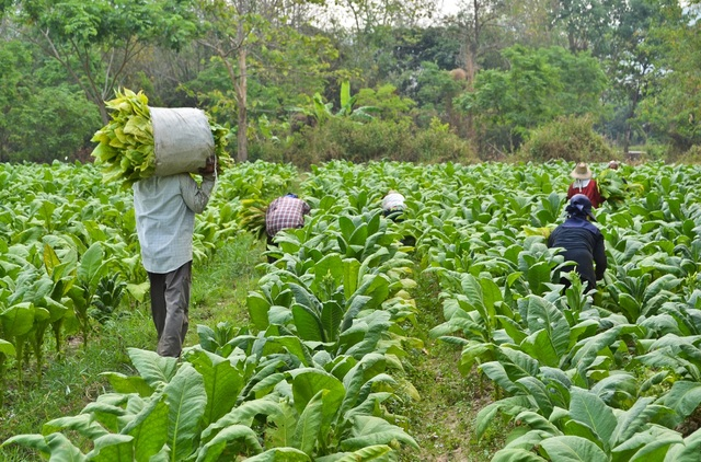 Tobacco cultivation to be banned by 2020
