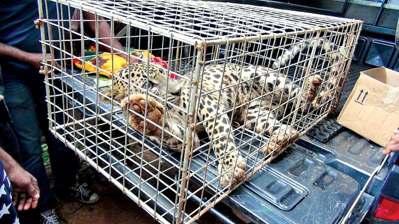 Leopard saved from Gampola estate