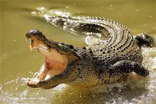 Immediate actions for crocodile threats in flood stricken areas