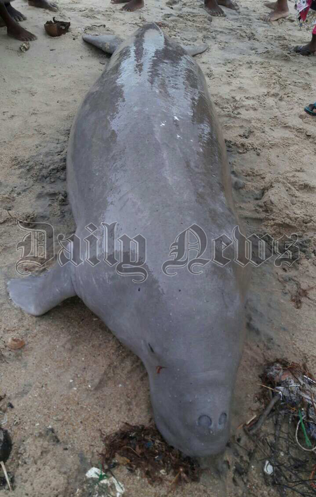 Body of a sea pig recovered from Pukkulam shores