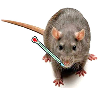 Rat fever threatens Galle: four dead, 110 infected