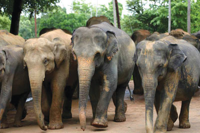 Court orders temporary release of 15 elephants for Kandy Esala perahera