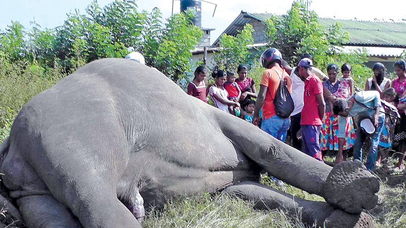 The body of the elephant.  Picture by Sumithra  Kumarihami, Kantale Group Corr.