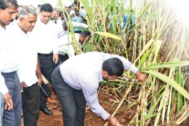 Industry and Commerce Minister Rishad Bathiudeen at the Buttala cane plantation of the Pelawatte Sugar Factory with Chairman Navin Adikarama.