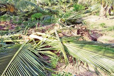 A coconut cultivation destroyed by a herd of wild elephants.  Picture by by I.L.M. RIZAN