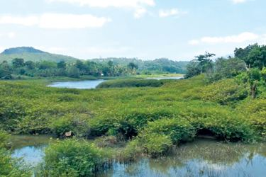 The Nalanda reservoir filled with the invasive plant. Picture by Galewela Central Group Corr.