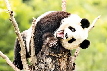 Playful: A one-year-old panda plays on a tree at the Bifengxia Panda Base near the Ya'an City of Sichuan Province