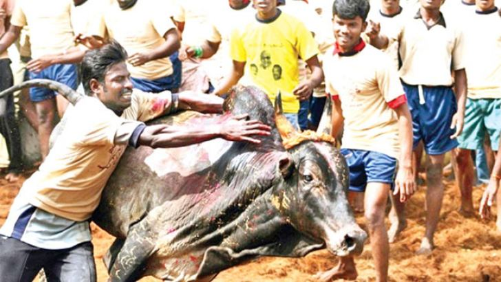 A young man attempts to tame a bull during the annual Jallikattu festival in Palemedu, India. AFP