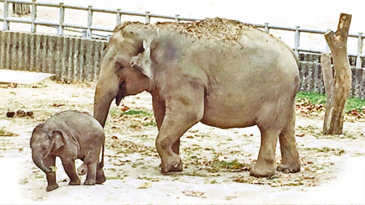 Sugala, the mother elephant and her baby 'Korilanka' a year ago.  Picture by  Kathya de Silva  Senarath